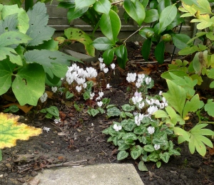 Cyclamen hederifolium 'Album' (2) - 2015